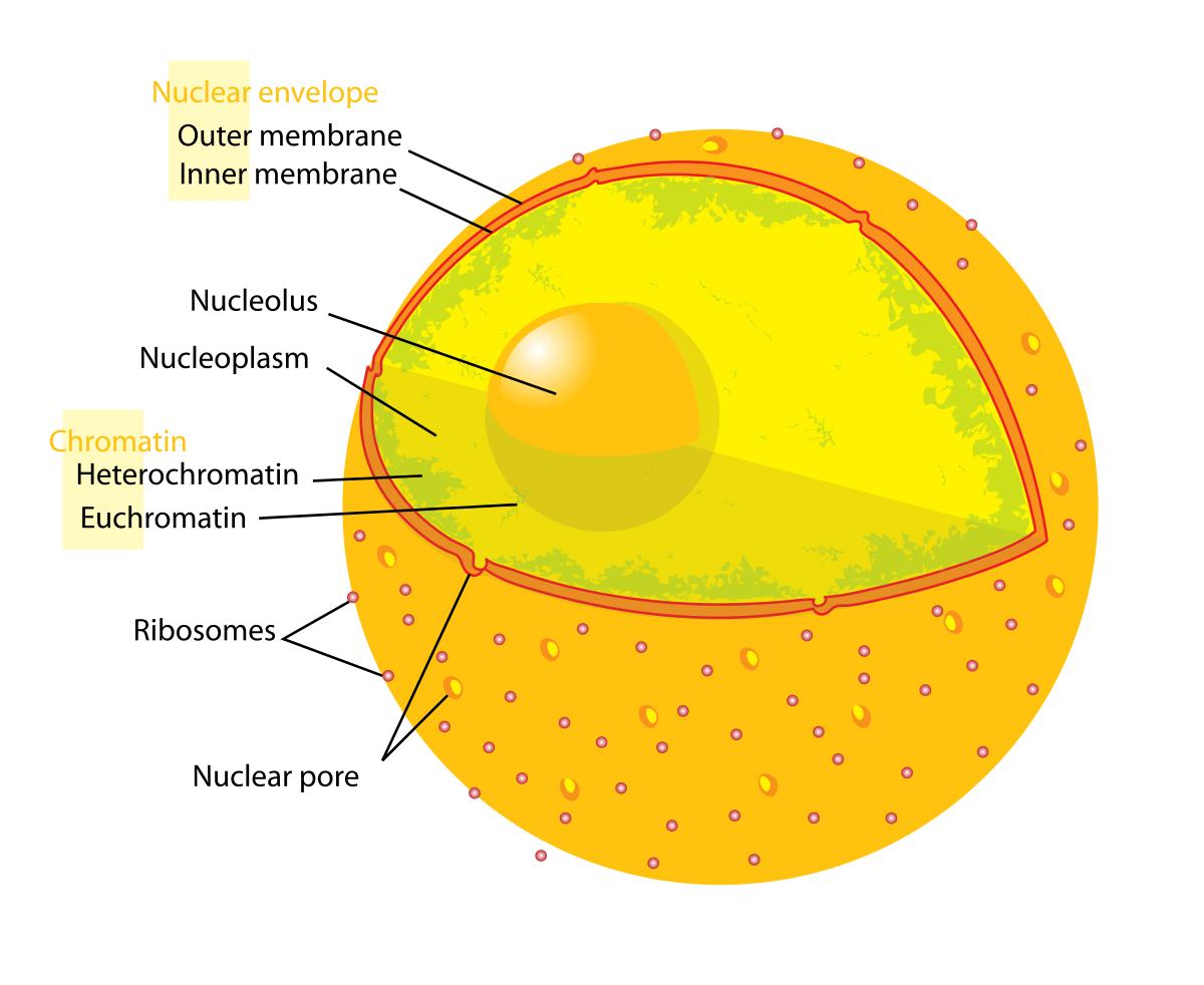 10 Characteristics Of Nuclear Membrane