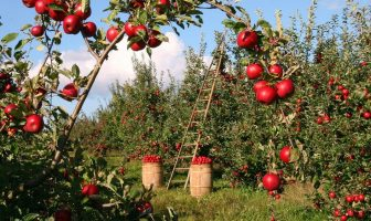 Apple Cultivation - How to Grow Apple? and Apple Diseases