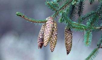Information About Spruce - What are the properties, characteristics of spruce trees?