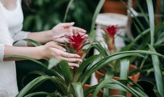 Bromeliad Vriesea Splendens