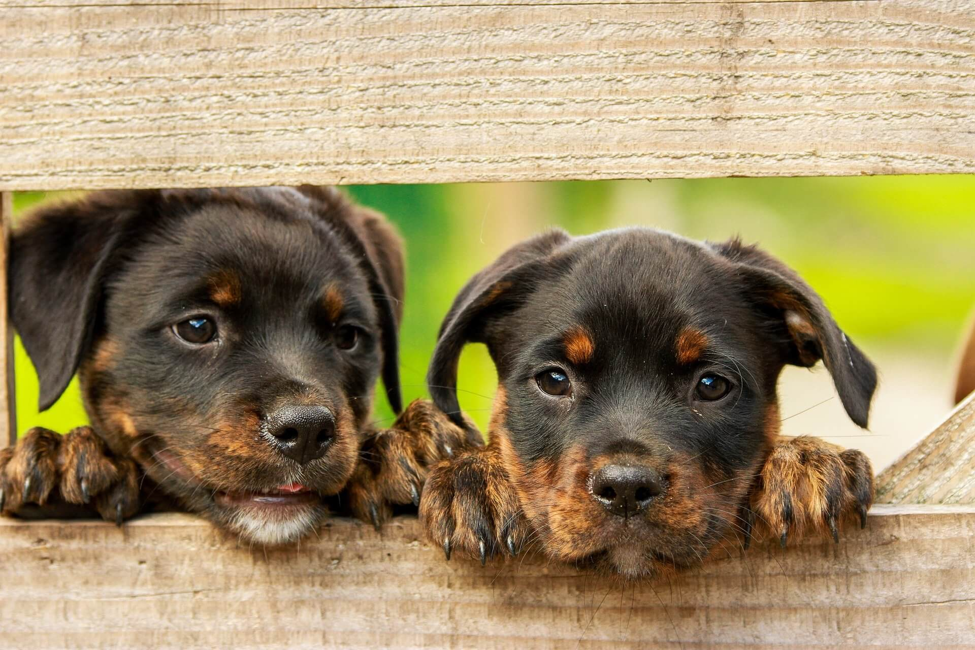 10 Characteristics Of Rottweilers (Facts and Information)