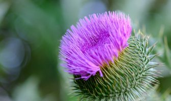 Thistle Plant Information - What does thistle plant look like?