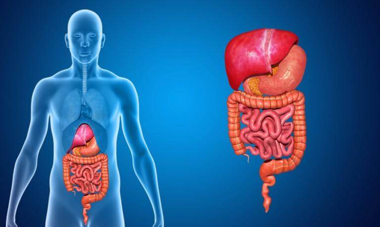 10 Characteristics Of Digestive System - What is the Digestive System?