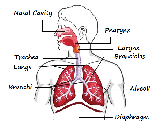 10 Characteristics Of Respiratory System - What is the Respiratory System?