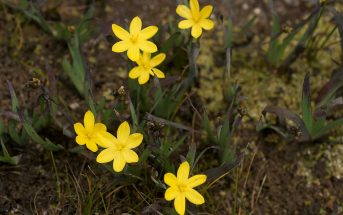Yellow Eyed Grass (Xyris) Facts and Definition