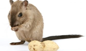 Information About Rats - Living Habitat, Reproduction and Features