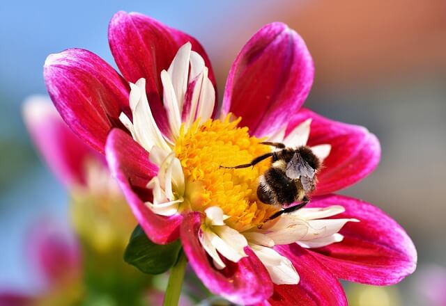 Zinnia Flower Information - Facts, Care, Types and Species