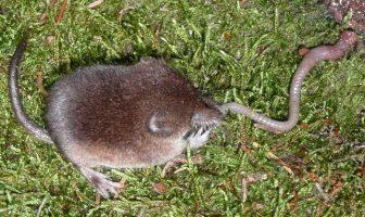The Smallest Mammal in the World: Sorexes (Why Eskimos Are Afraid of Sorex?)