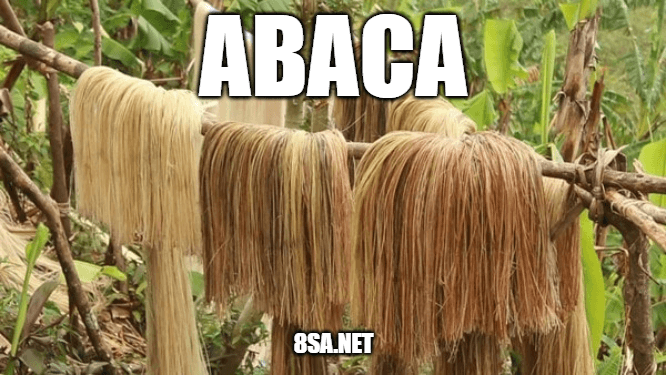 """Use Abaca in a Sentence - How to use """"Abaca"""" in a sentence"""