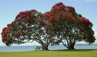 Christmas in New Zealand - How is Christmas Celebrated in New Zealand?