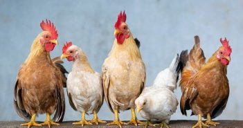 Anatomy and Physiology Of Chicken – Circulatory, Respiratory and Digestive System