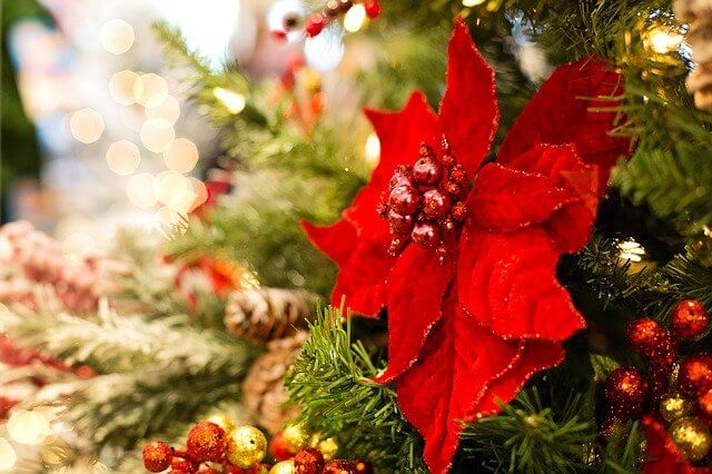 Poinsettias at Christmas - Why are poinsettias popular at Christmas?