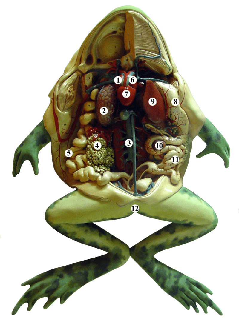 Anatomical model of a dissected frog: 1 Right atrium, 2 Lungs, 3 Aorta, 4 Egg mass, 5 Colon, 6 Left atrium, 7 Ventricle, 8 Stomach, 9 Liver, 10 Gallbladder, 11 Small intestine, 12 Cloaca