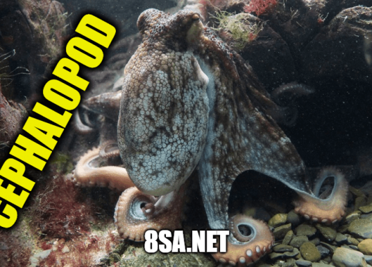 Cephalopod in a sentence