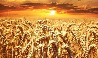 """Use Wheat in a Sentence - How to use """"Wheat"""" in a sentence"""