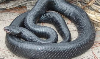 What are the features and facts of indigo snakes?