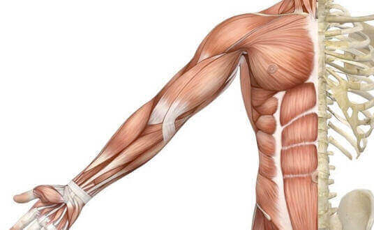 Physiology and Anatomy of Muscles