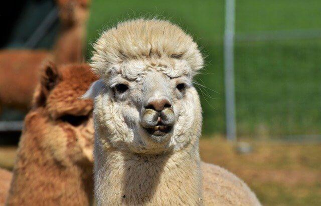 National Llama Day