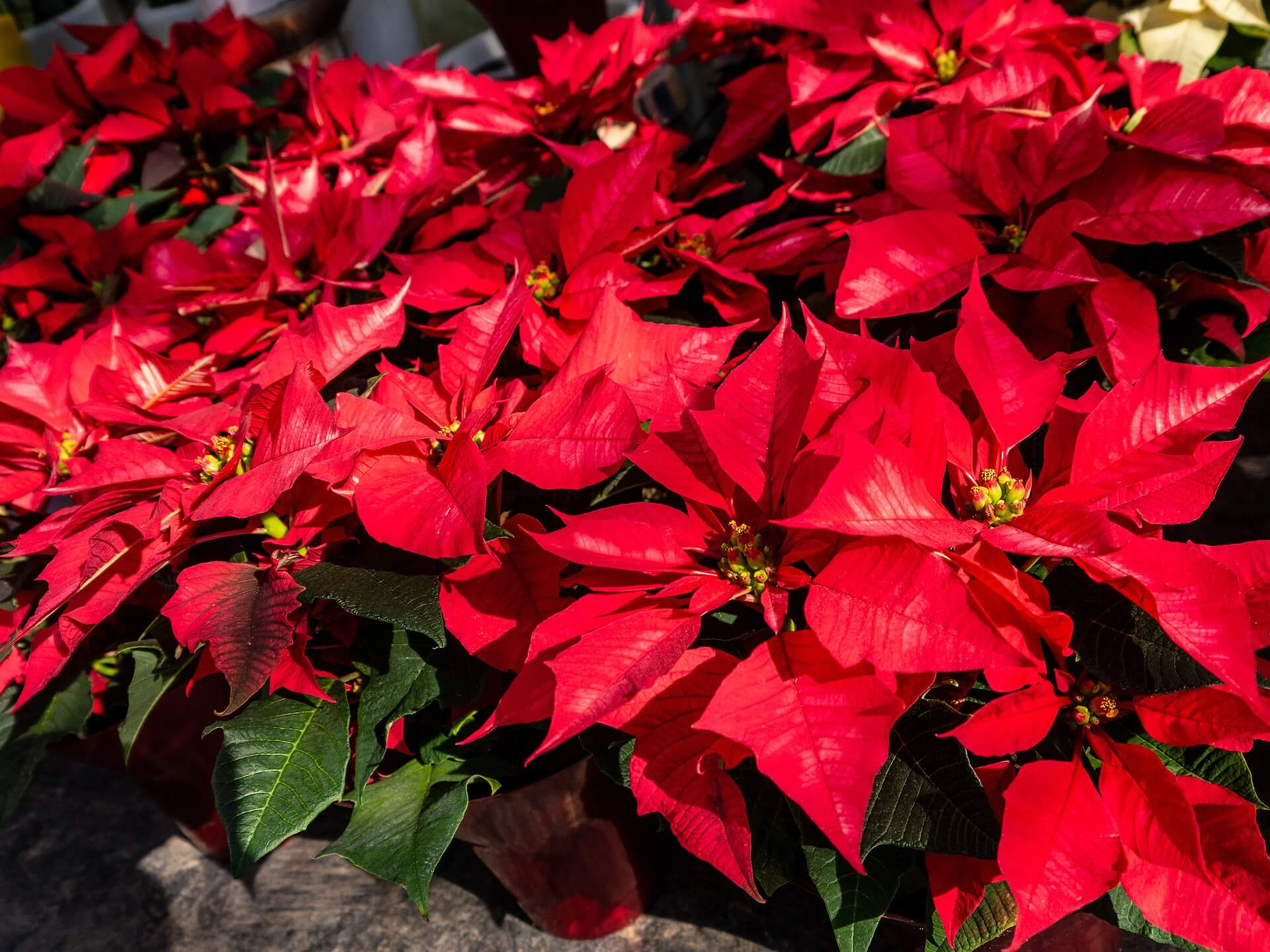 What is National Poinsettia Day (December 12) and Activities