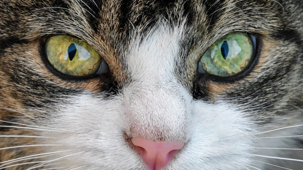 International Cat Day Messages | Cat Quotes/Slogans – August 8